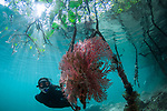 Kitty Lau snorkeling in the mangrove with Dendronephthya soft corals