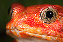 Tomato frog {Dyscophus antongili} Maroantsetra, Northeast Madagascar