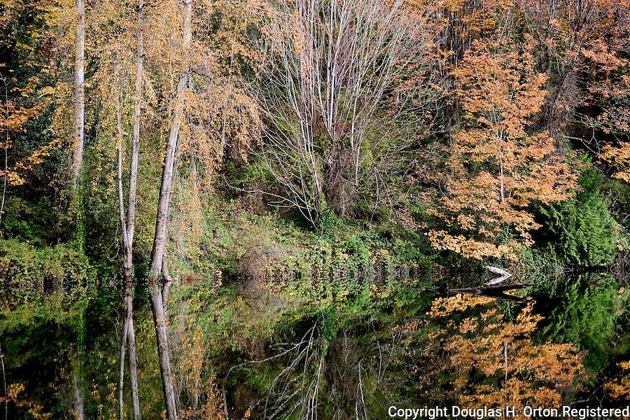 Big Leaf maple in fall color overhang placid pond.  Lake Fenwick Park, King County, Washington.