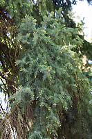 Omorika-Fichte, Serbische Fichte, Omorikafichte, Picea omorika, Serbian Spruce, L'Épicéa de Serbie