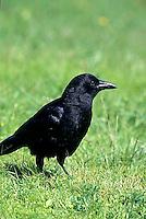 BL04-007z  Crow - Corvus brachyrhynchos