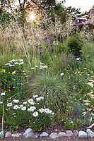 Sunburst through bunch grass, Stipa gigantea and Shasta Daisy (Leucanthemum x superbum) in meadow garden Barbata garden, Walnut Creek, California