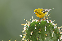 Pine Warbler (Dendroica pinus), male perched on ice covered Texas Prickly Pear Cactus (Opuntia lindheimeri), Dinero, Lake Corpus Christi, South Texas, USA