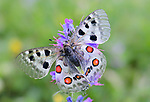 Apollo butterfly (Parnassius apollo) Nordtirol, Austrian Alps, Austria, June. (focus stack)