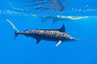 blue marlin, Makaira nigricans, or Makaira mazara, free-swimming, passing by charter vessel Reel Addiction, Vavau, Tonga, Pacific Ocean