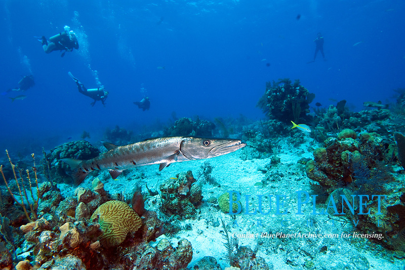 Great barracuda, sphyraena barracuda. Grows to 1.8m/6ft, and can be seen down to depths of 100m/330ft.