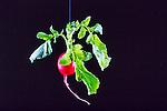Radish hanging on black background.