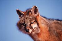 Portrait of a gray fox.