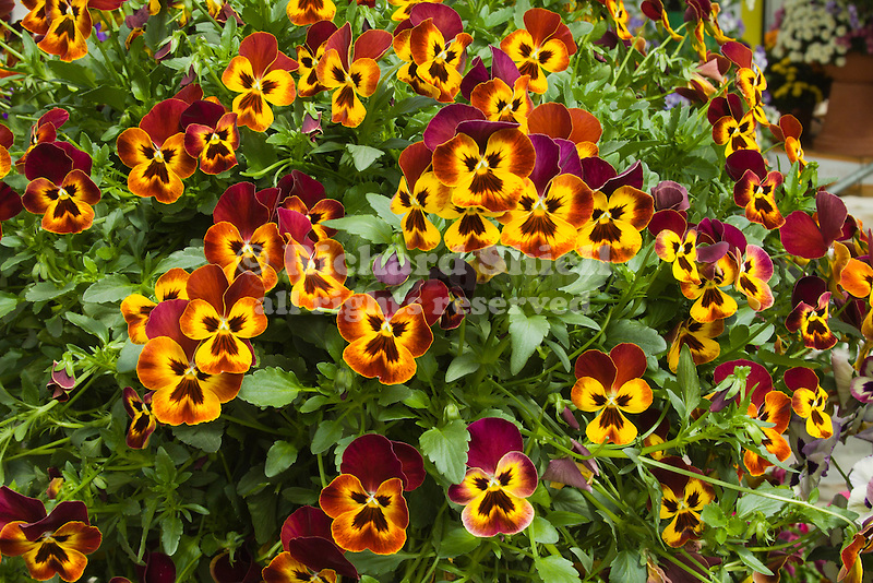 VIOLA 'WONDERFALL YELLOW WITH RED WING', PANSY
