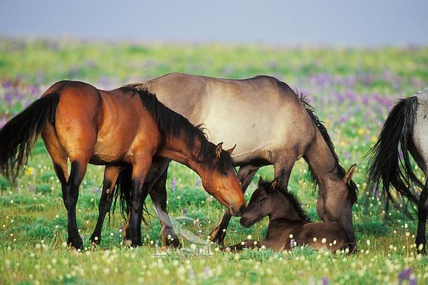 Wild Horse herd (including young colt).  Western U.S., summer..(Equus caballus)