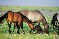 Wild Horse herd (including young colt).  Western U.S., summer..(Equus caballus)