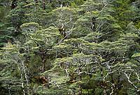 Native beech forest in Arthur's Pass, Arthur's Pass National Park, Canterbury, South Island, New Zealand, NZ