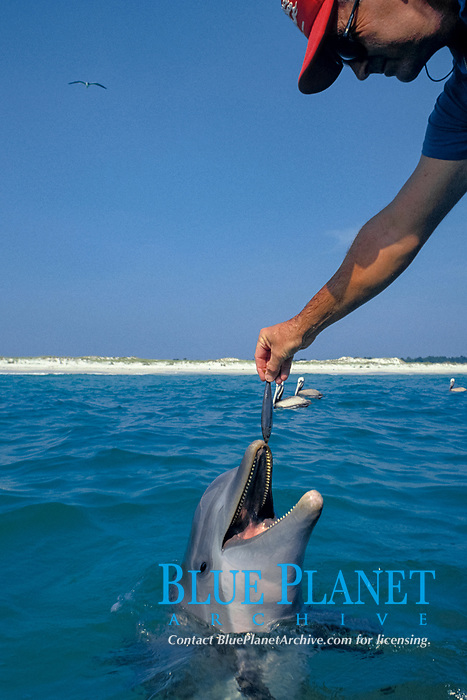 a boater feeds a wild bottlenose dolphin, Tursiops truncatus, off Panama City, Florida (Gulf of Mexico)