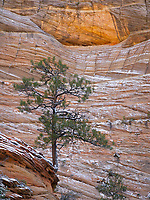 I've photographed this tree on several other occasions while hiking to the highest point in Zion National Park, Observation Point.  Once again, it is striking how a tall tree can grow and survive in the cracks of the sandstone walls and cliffs.