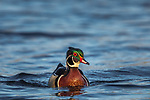 Drake wood duck in northern Wisconsin.