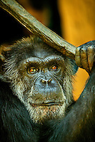 The mesmerizing face of an aging chimpanzee at The North Carolina Zoo, located in the town of Asheboro, North Carolina. The North Carolina Zoo, located about 70 miles west of Raleigh and about 90 miles from Charlotte, is one of the largest natural habitat zoos in the United States that allows visitors to walk through its grounds. One of only two state-supported zoos in the country, the NC Zoo was the first American zoo to incorporate the natural habitat philosophy, which presents animals and plants together in exhibits that resemble the natural habits of these creatures in the wild. The North Carolina Zoological Park features animals from Africa and North America. The 1,500-acre  zoo is located atop Purgatory Mountain, which is part of the Uwharrie Mountains in central North Carolina.