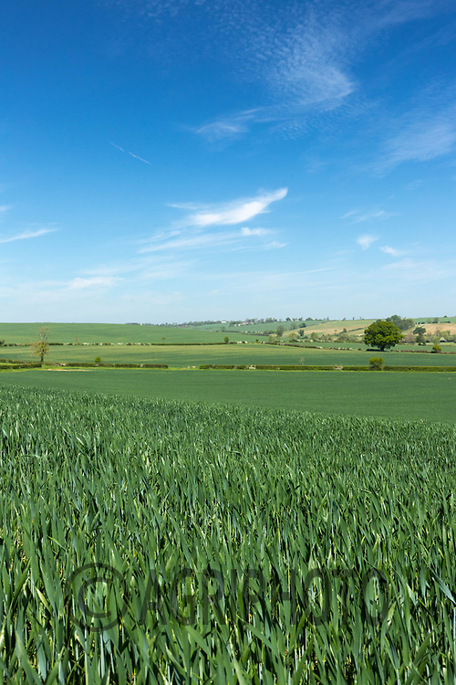 2-6-2021 Winter wheat growing in Rutland<br /> ©Tim Scrivener Photographer 07850 303986<br />      ....Covering Agriculture In The UK....