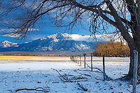 The old cottonwood tree survives another winter storm in Taos, New Mexico.