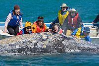 gray watchers with an adult California Gray gray (Eschrichtius robustus) surfacing near the panga in Magdalena Bay near Puerto Lopez Mateos on the Pacific Ocean side of the Baja Peninsula, Baja California Sur, Mexico. Each winter thousands of California gray whales migrate from the Bering and Chukchi seas to breed and calf in the warm water lagoons of Baja. This is the furthest sout of the three major such lagoons. Current (2008) population estimates put the California Gray gray at between 20,000 and 24,000 animals.
