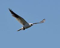 White-tailed Kite, Laguna Atascosa Wildlife Refuge, Texas