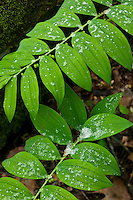 Smooth Soloman's seal (polygonatum biflorum) with snow