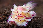 Bumpy Mexichromis , Mexichromis multituberculata, Underwater macro marine life images;  Photographed in Tulamben; Liberty Resort; Indonesia.Underwater Macro Photographer on FB 2nd Annual event