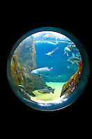 The Waikiki Aquarium's shark tank can be viewed thru this fisheye shaped window. It contains other large fishes from Hawaii's marine environment in addition to a variety of sharks.