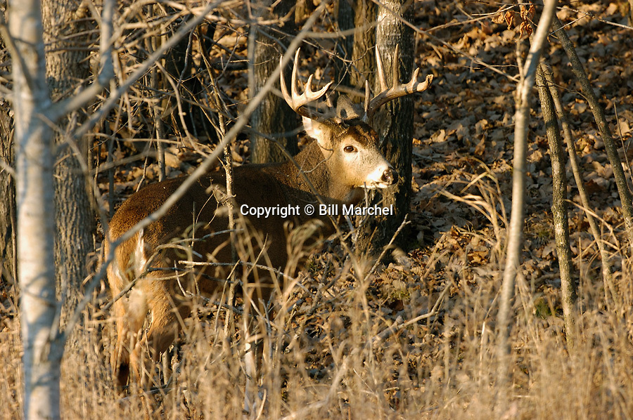 00274-303.15 White-tailed Deer Buck (DIGITAL) with large 10-pt. antlers is in heavy cover during fall.  H6R1