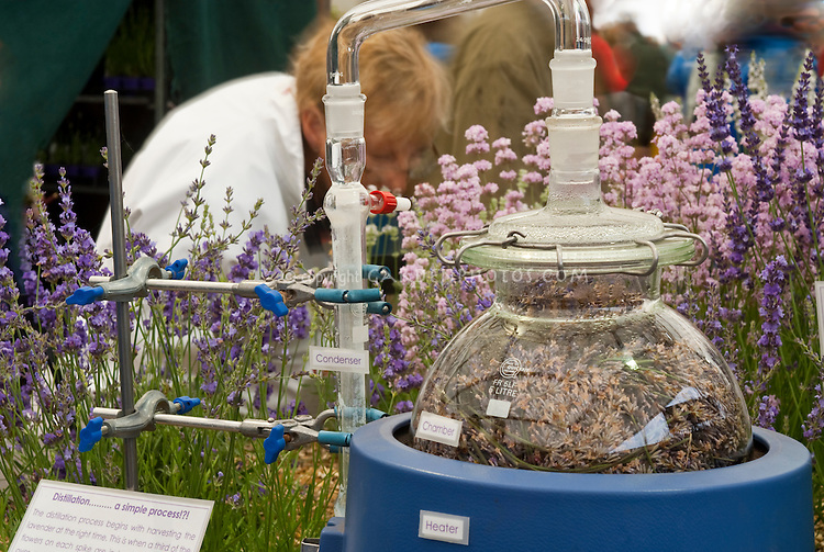 Laboratory Setup of distilling scent from lavender flowers Lavandula in perfume industry