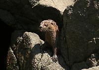 marine otter, chungungo, Lontra felina, Antofagasta, North of Chile, waiting for the mother