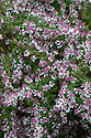 """Aster lateriflorus var. horizontalis, mid October. """"A dark, small-leaved, small-flowered Michaelmas daisy, which by mid-October produces thousands of tiny, off-white, pink-flushed flowers each with a rosy mauve centre. These sprays billow out from horizontally branching stems, arching this way and that, creating as Christo described it a 'seething mass' of pink foam. Plants are erect, dense and twiggy, requiring no staking, keeping their shape well into the winter when the intricate brown skeletons and delicate seedheads are dusted white with frost. By mid March plants are cut down to the ground to make way for new growth."""" [Fergus Garrett, Great Dixter, Nurseryman's Favourites, Gardens Illustrated magazine, October 2013]"""