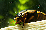 Predacious diving beetle, Dysticus harrisi, Dytiscidae, water tiger