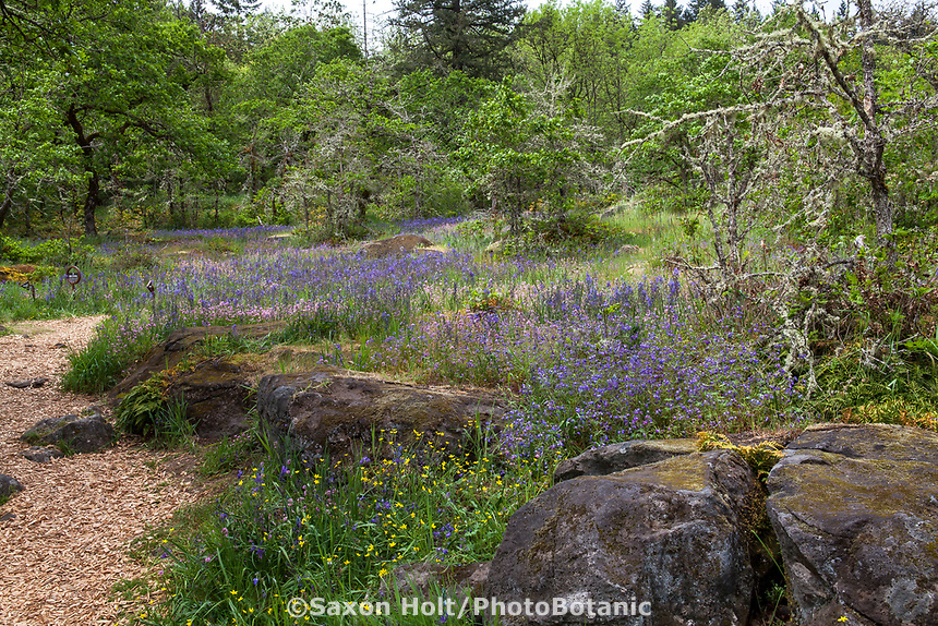 Mulched path trail through nature's garden design raised bed with rock outcrop in Oak woodland clearing - Camassia Nature Preserve, The Nature Conservancy protected park, Portland Oregon