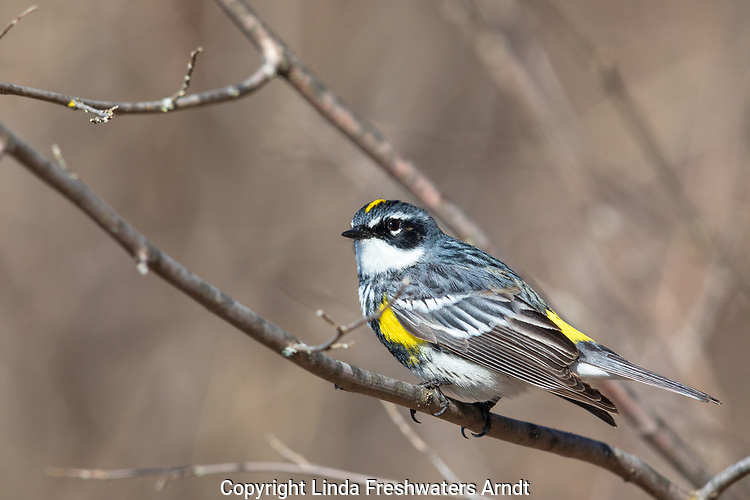 Male Myrtle yellow-rumped warbler searching for insects in nothern Wisconsin.