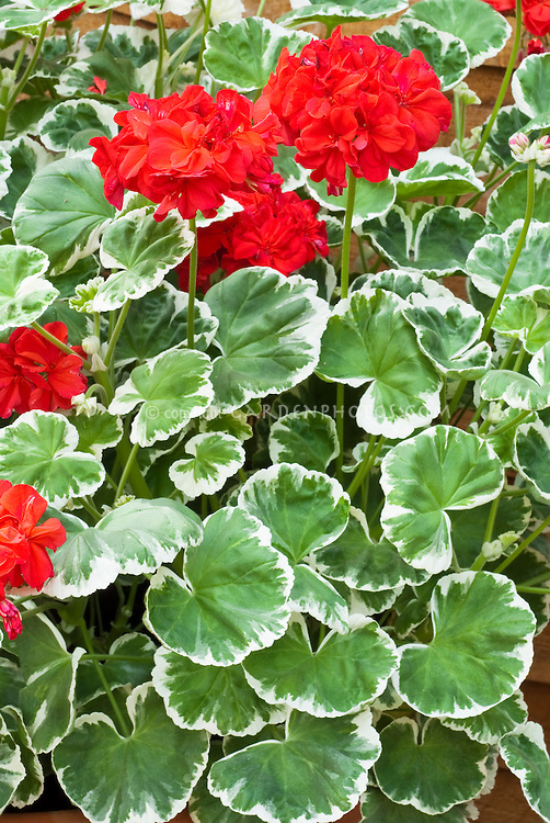 Pelargonium Melosilver annual geranium in red flower with variegated green and white foliage leaves