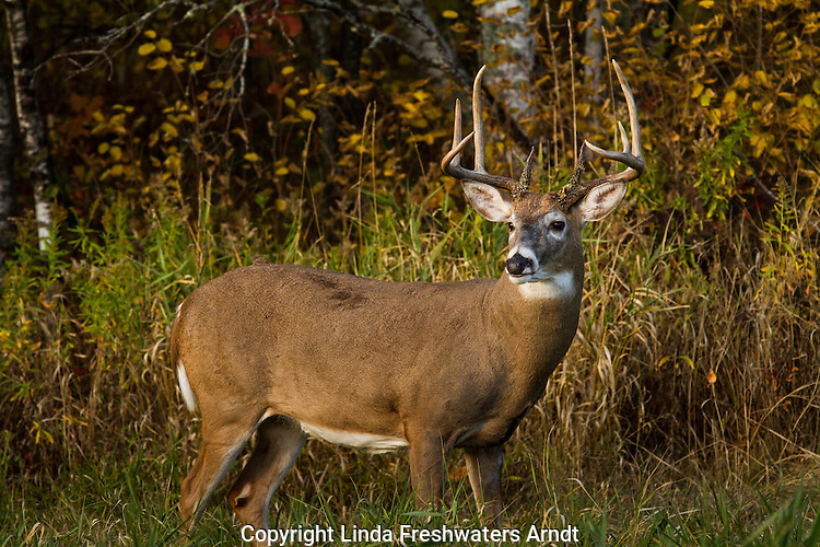 Majestic white-tailed buck