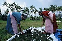INDIA Kerala, black pepper, women dry green pepper berry after harvest in the sun / INDIEN Kerala, Anbau von Pfeffer, Frauen trocknen die gruenen Pfefferbeeren nach der Ernte bis sie in der Sonne schwarz werden