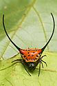 Longhorn Orb Web Spider {Macracantha arcuata}, Danum Valley, Sabah, Borneo. June.