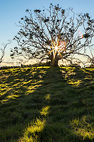 The sun rises behind a giant koa tree, casting shadows on green grass along Mana Road, Big Island.