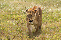 A female Lion, Panthera leo melanochaita, in Ngorongoro Crater, Ngorongoro Conservation Area, Tanzania