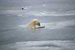A polar bear swims through ice floes.