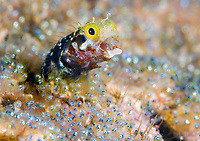 secretary blenny, Acanthemblemaria maria, in its den, surrounded by eggs of sargeant major, Abudefduf saxatilis, Bonaire, ABC Islands, Netherlands Antilles, Caribbean Sea, Atlantic Ocean