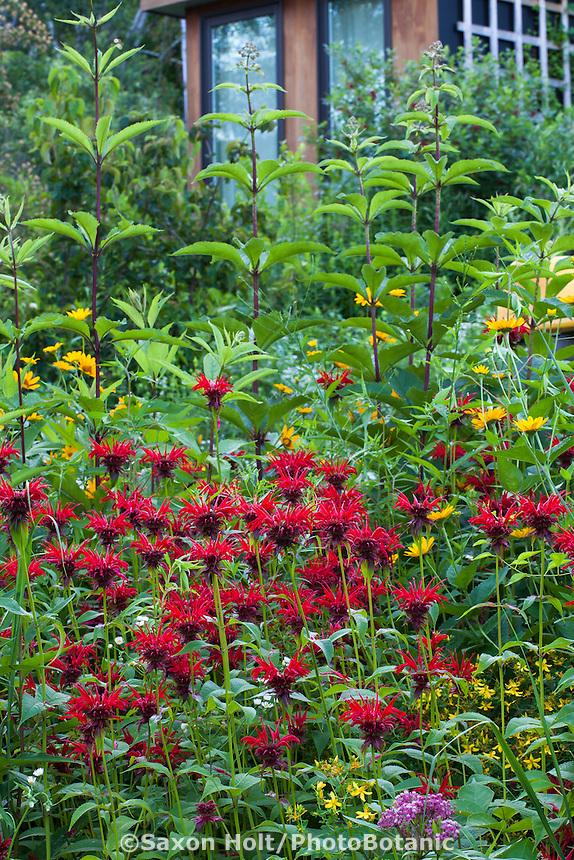 Monarda didyma (crimson beebalm, scarlet beebalm, scarlet monarda, Oswego tea, or bergamot), red flowering perennial wildflower in Connecticut meadow garden with native plants; Larry Weaner Design