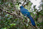Adult blue coua (Coua caerulea) in the forest canopy. Marojejy National Park, north east Madagascar.