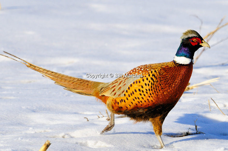 00890-038.15 Ring-necked Pheasant rooster is walking in snow covered corn stubble field during winter.  Hunt, feed, food, habitat.
