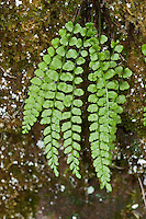 Grüner Streifenfarn, Grünstieliger Streifenfarn, Asplenium viride, Green Spleenwort