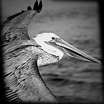 Pelican up close and personal, Bolsa Chica, CA.
