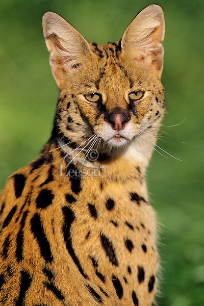 Serval (Leptailurus serval).  Found on Savannas of central Africa.