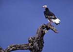 White-headed vulture (Critically Endangered) Tarangire National Park, Tanzania