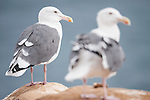 La Jolla Cove, La Jolla, California; a pair of adult Western Gulls (Larus occidentalis) standing on the cliffs overlooking the Pacific Ocean
